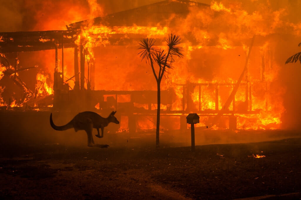 Kangaroo passing burning houses